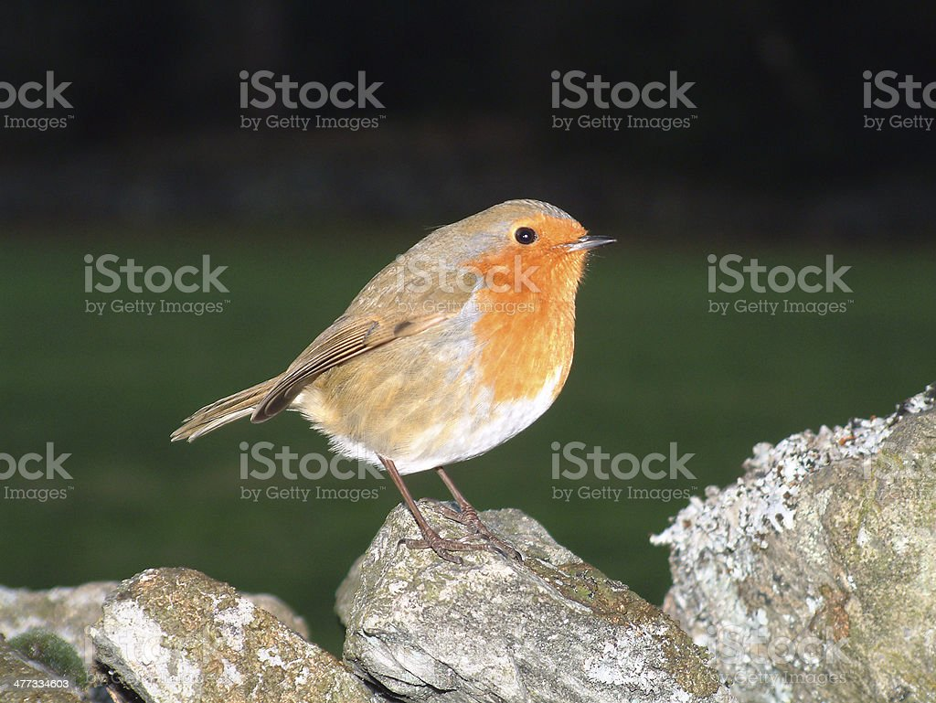Robin on dry stone wall royalty-free stock photo