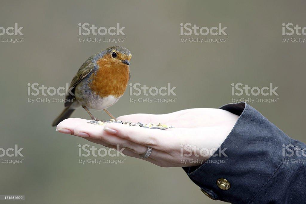 Robin on Hand stock photo