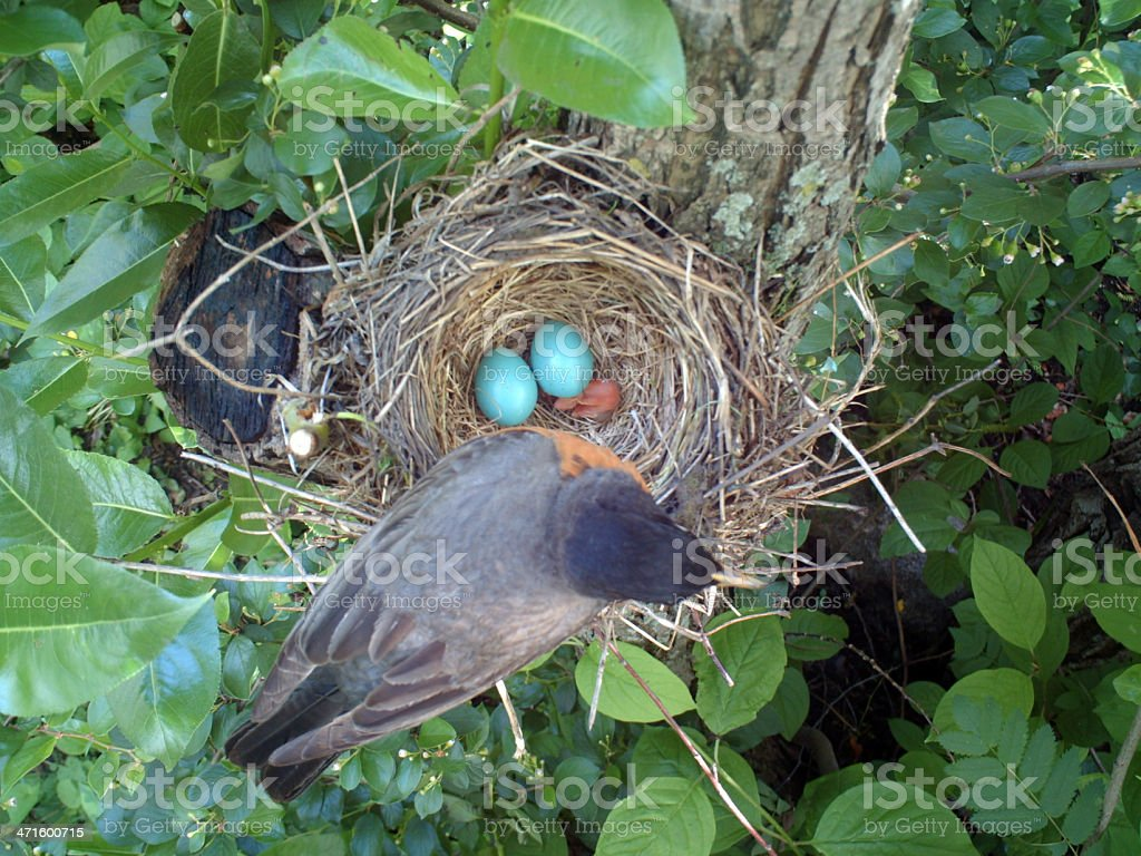 Robin on Her Nest royalty-free stock photo