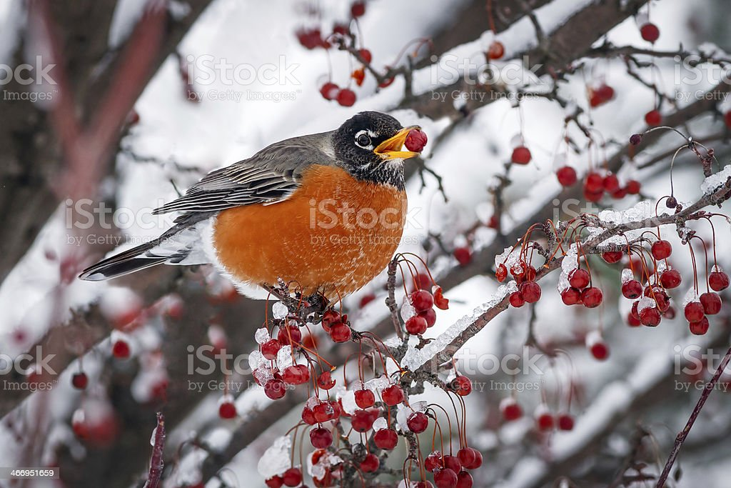 Robin sulla neve Mela selvatica Branch foto stock royalty-free