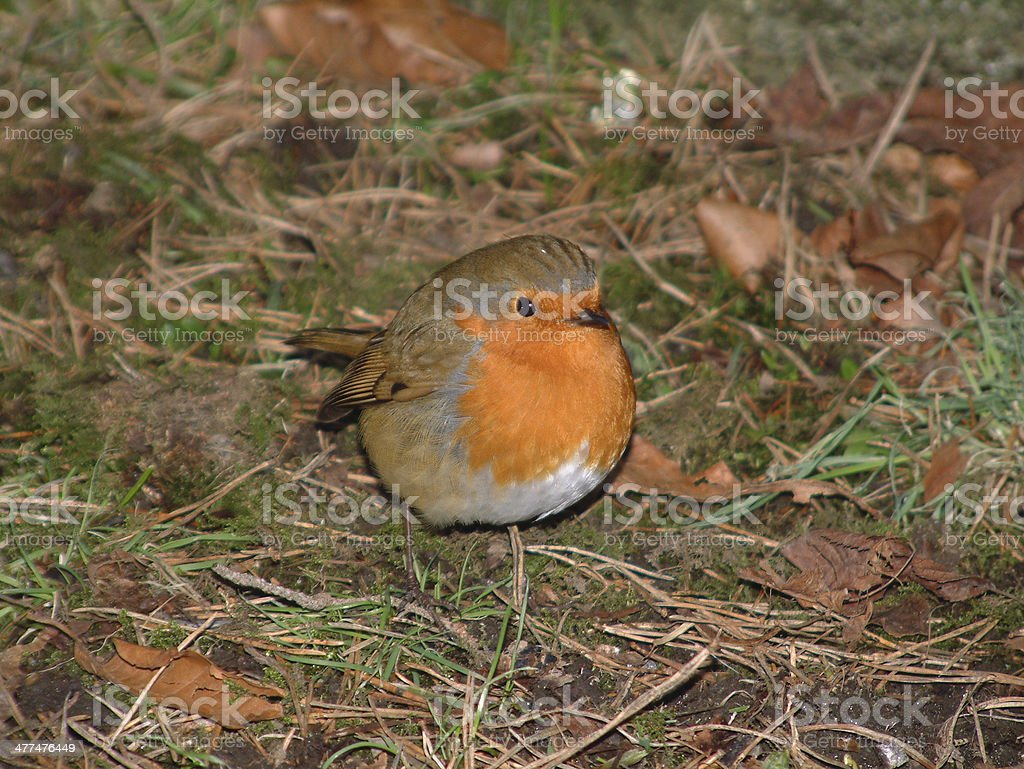 Robin on the ground royalty-free stock photo