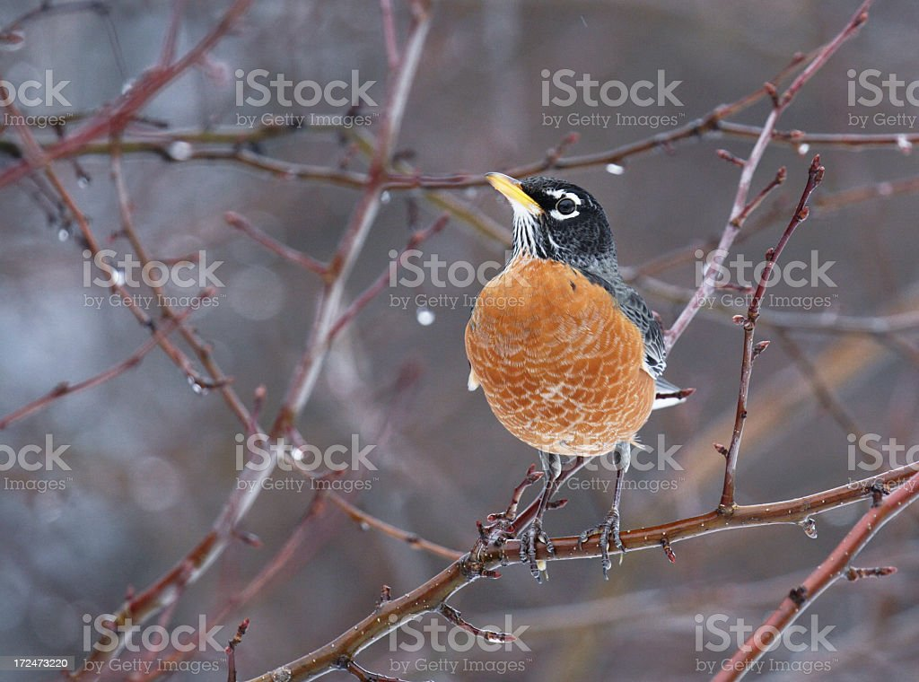 Robin (Turdus migratorius) Perched In Winter Tree royalty-free stock photo