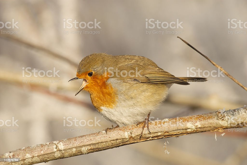 Robin perched on a frosty branch royalty-free stock photo