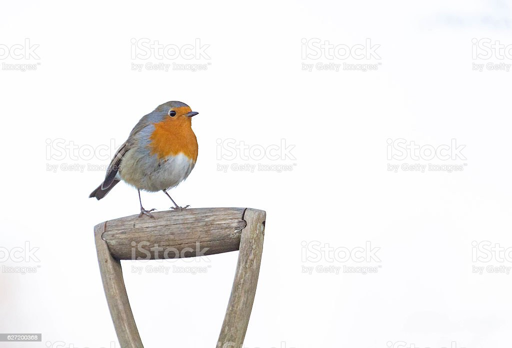 robin perched on shovel stock photo