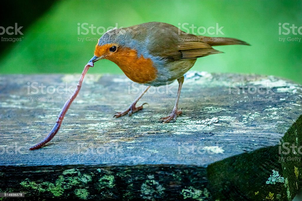 Robin picking up an earthworm stock photo