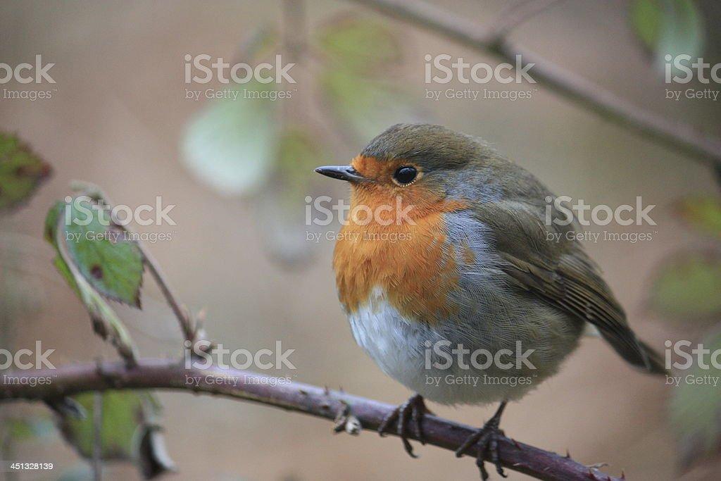 Robin foto de stock libre de derechos