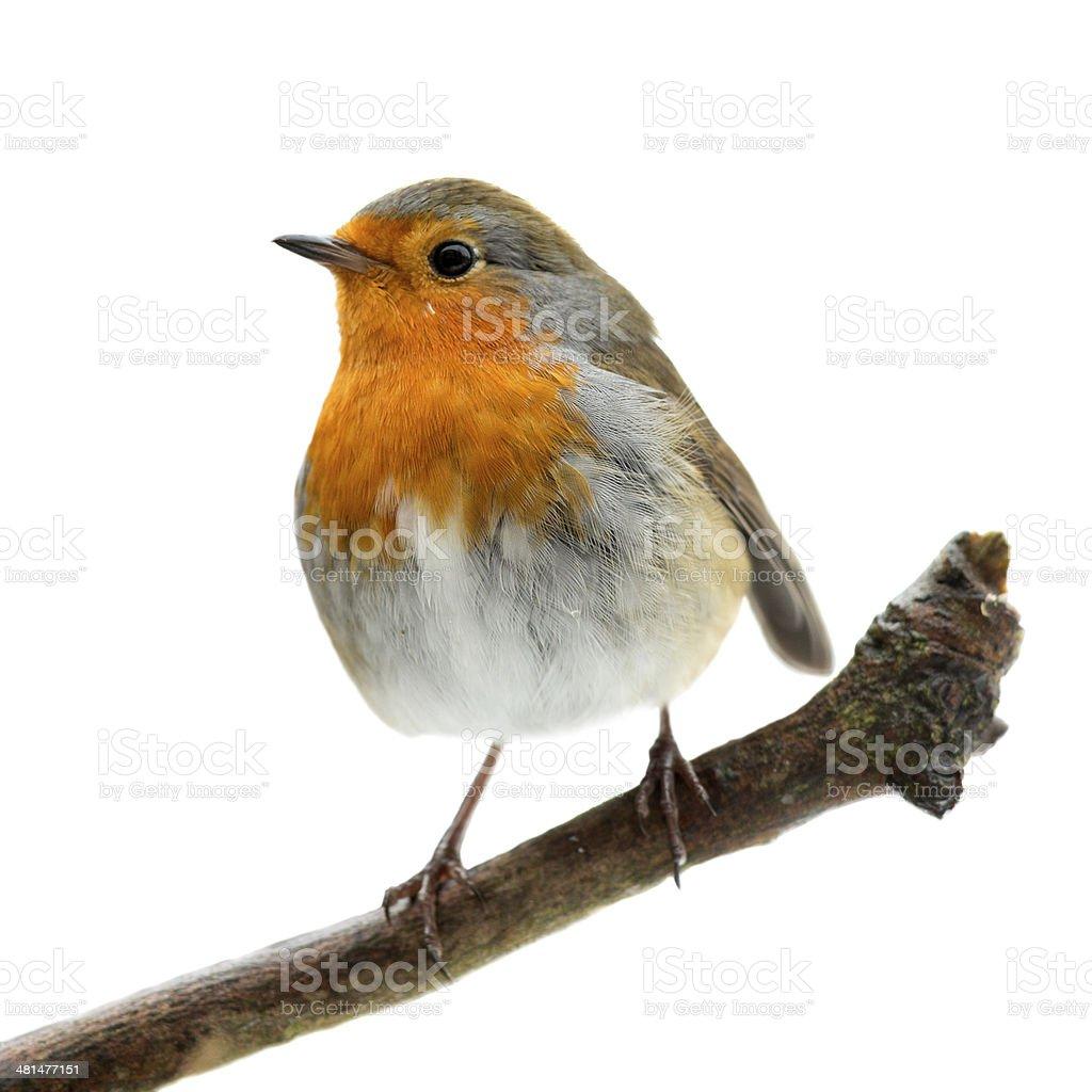Robin (Erithacus rubecula) stock photo