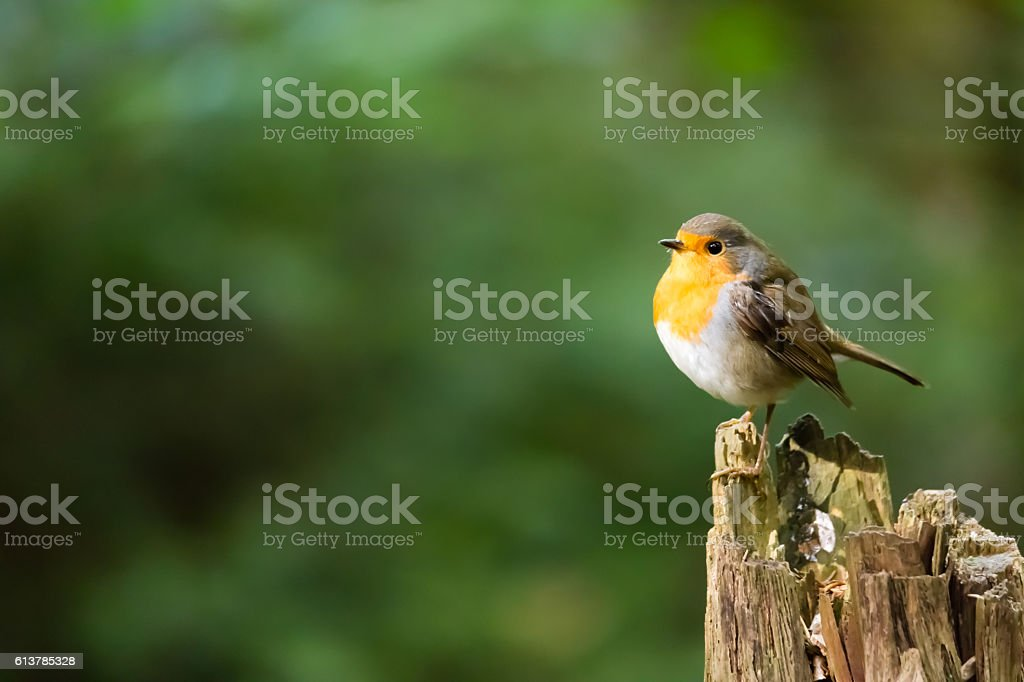 Rotkehlchen stock photo
