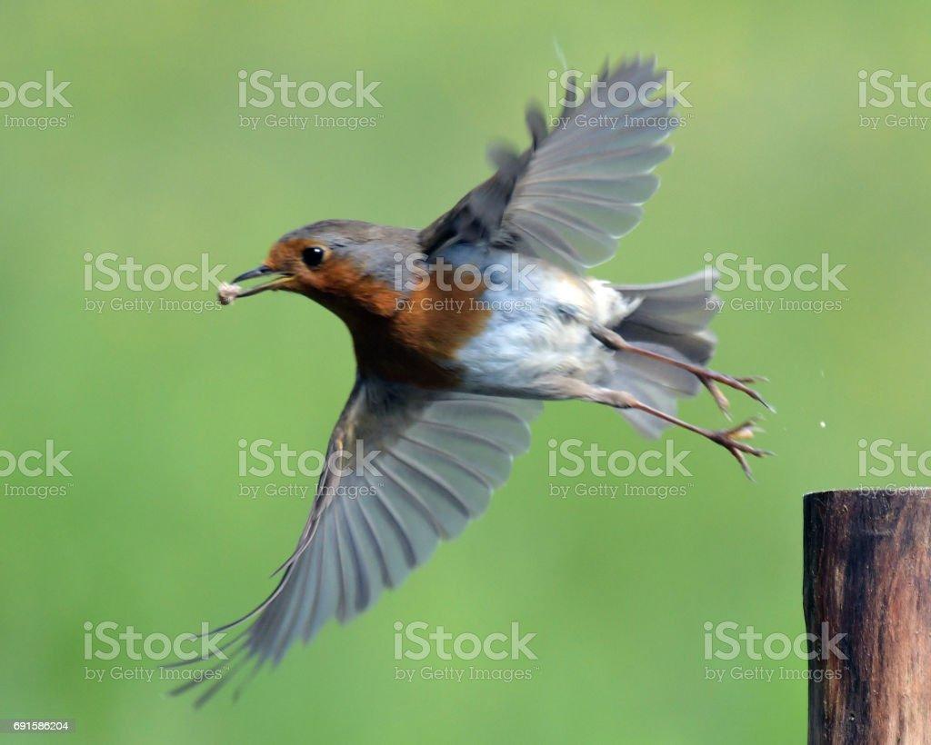 Robin stock photo
