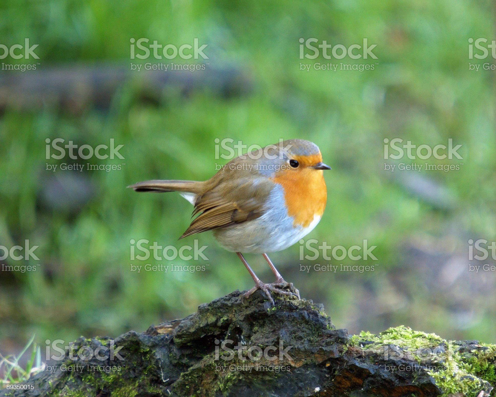 Robin (Erithacus rubecula) royalty-free stock photo
