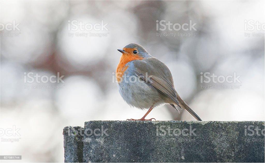 Robin Red Breast at Christmas stock photo