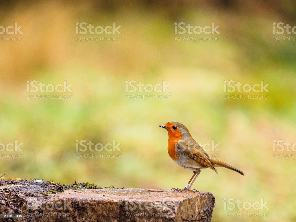 Robin Redbreast stock photo