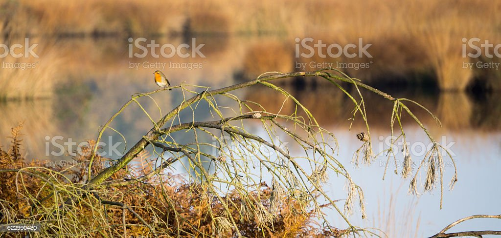 Robin relaxing on a twig stock photo