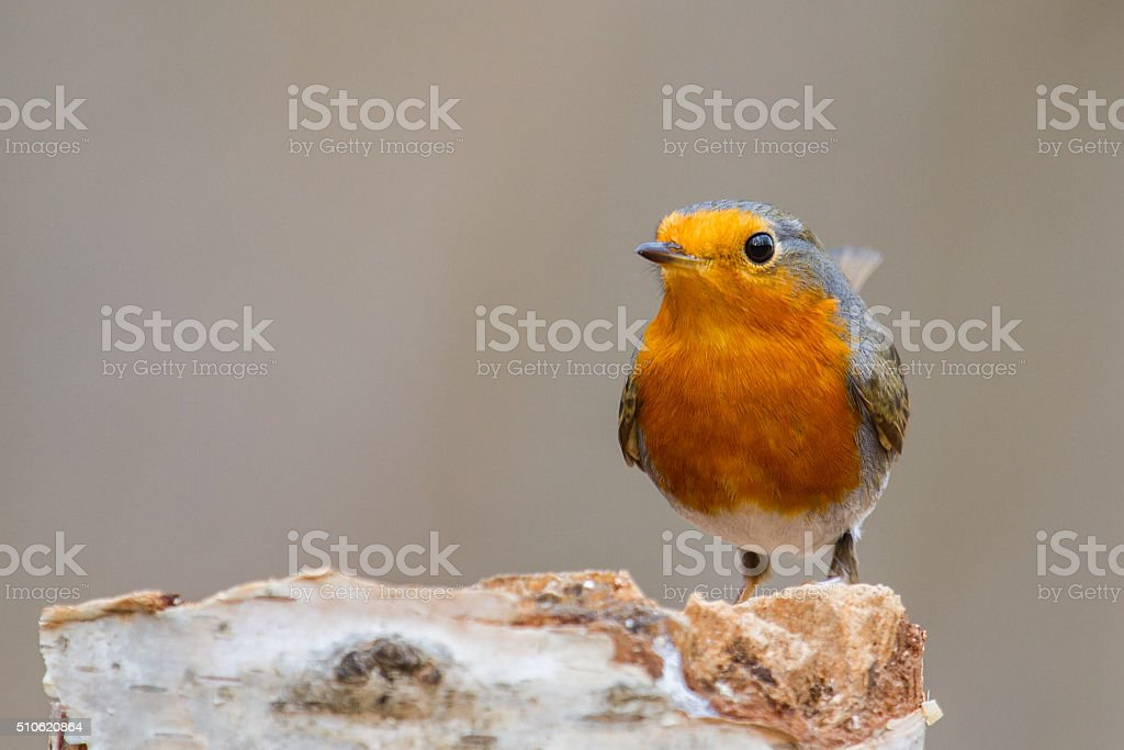 Robin sitting on a tree trunk stock photo