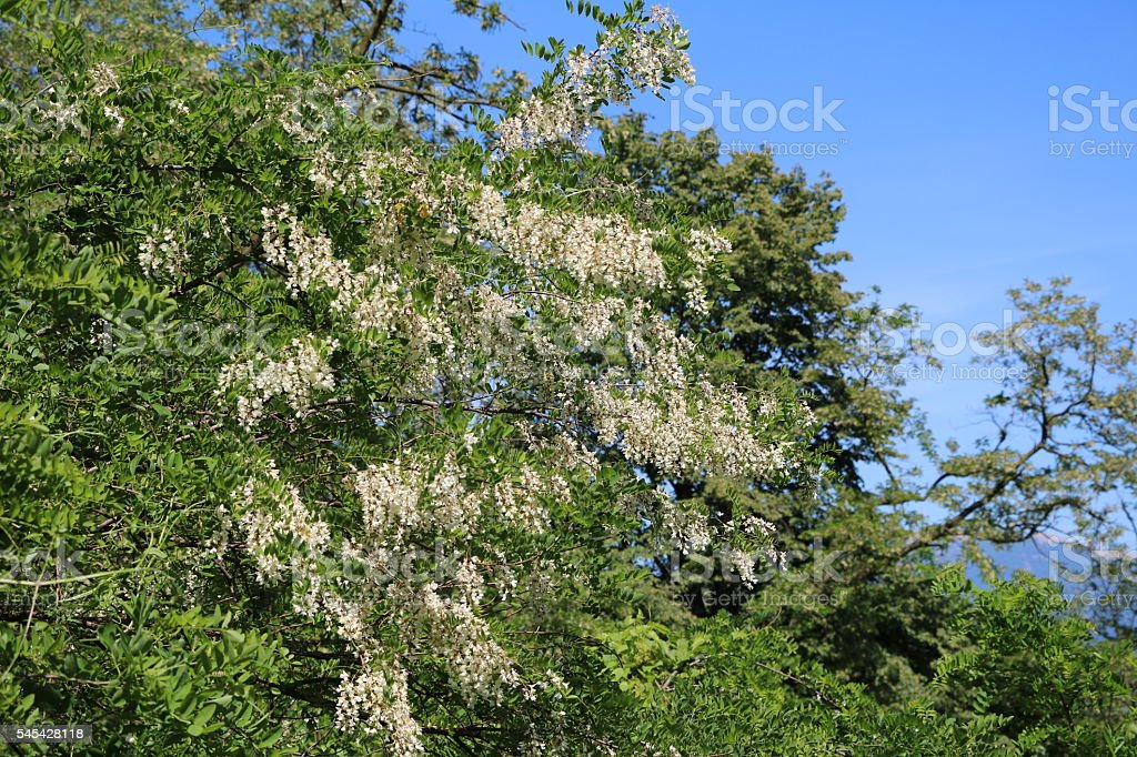 Robinia flowers under blue sky stock photo