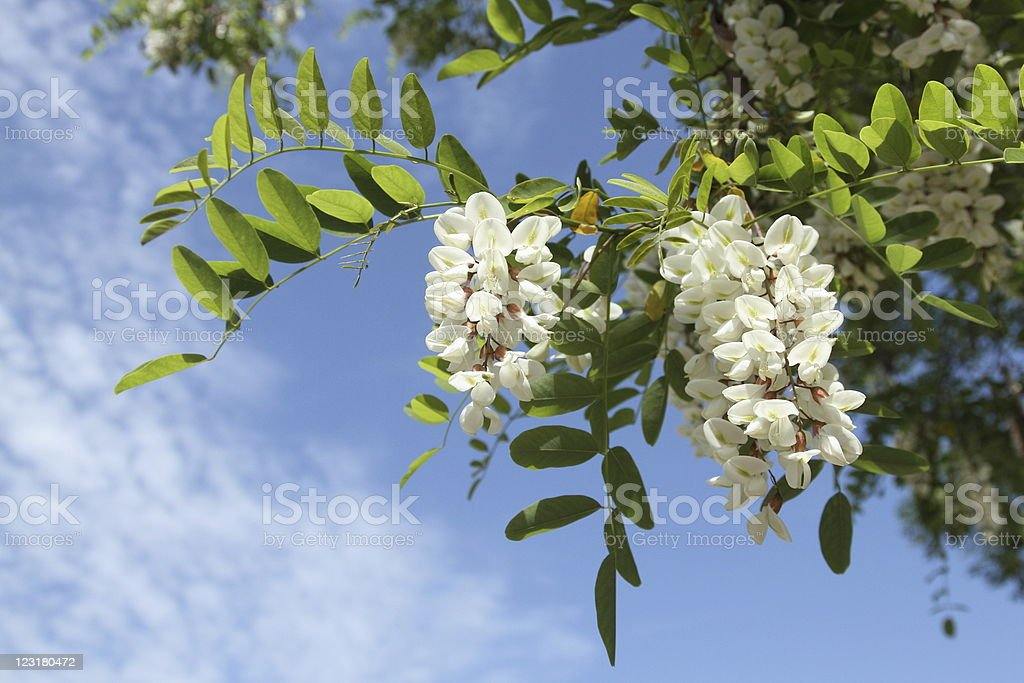 Robinia pseudoacacia stock photo