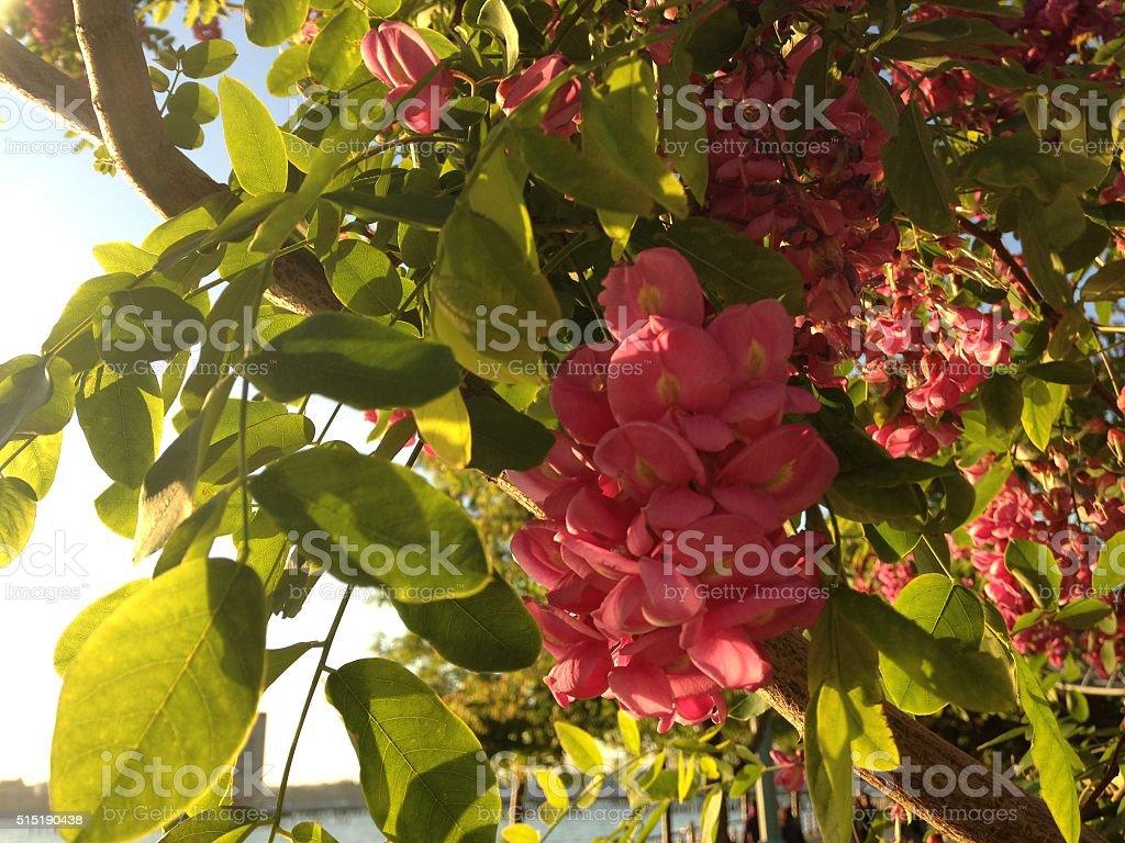 Robinia Pseudoacacia 'Purple Robe' Tree Branches with Flowers. stock photo