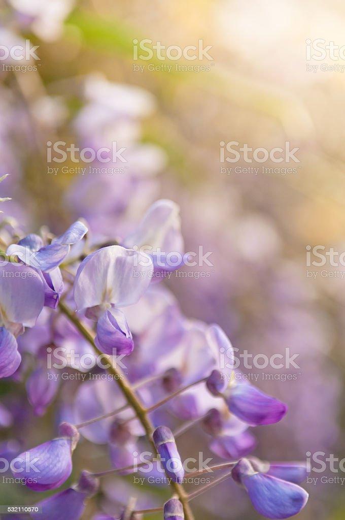 Robinia pseudoacacia tree flowers, know as black locust stock photo