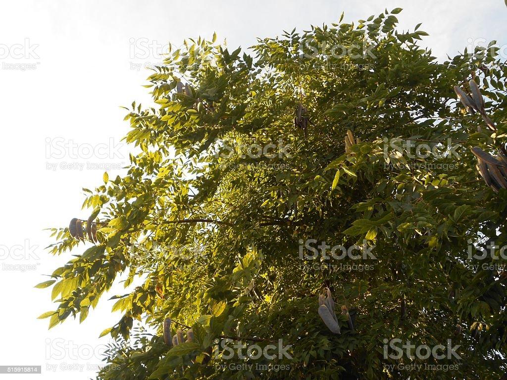 Robinia Pseudoacacia (Black Locust) Tree with Hanging Bean Seeds. stock photo