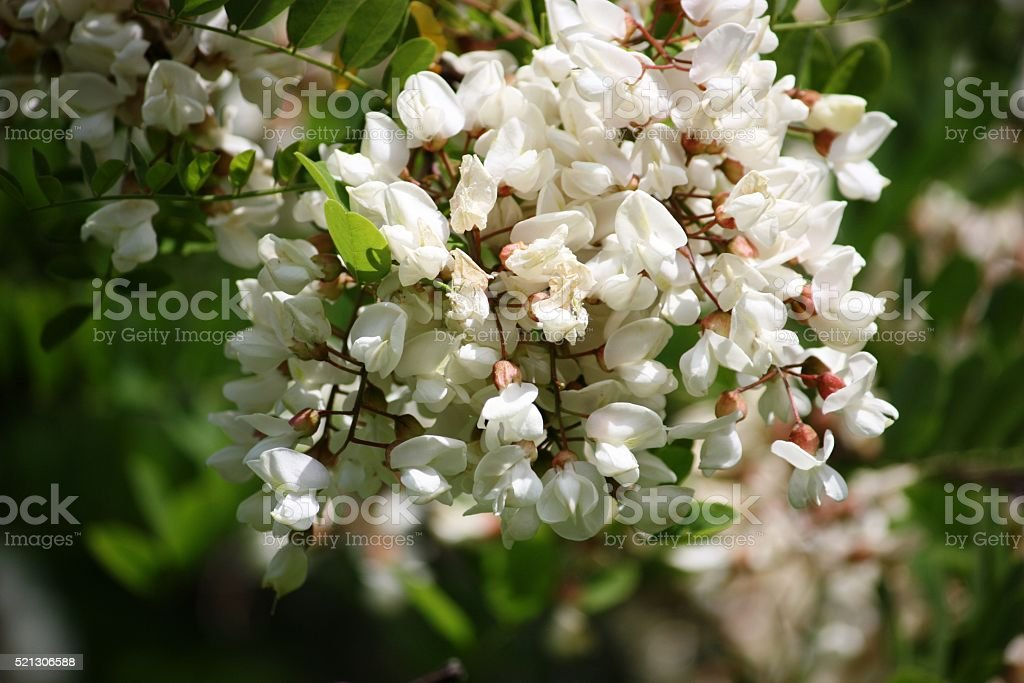 Robinia white flowers stock photo