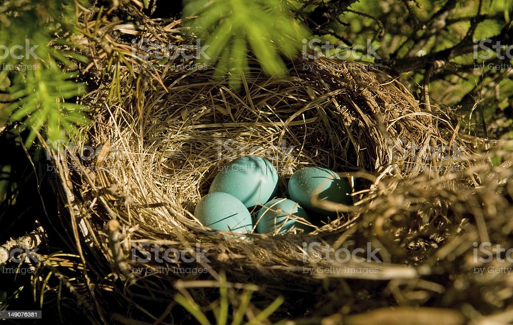 robin's eggs in a nest stock photo