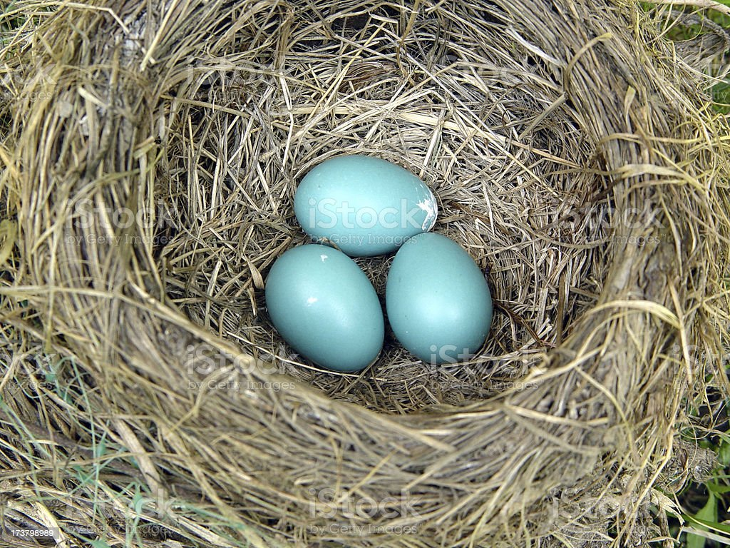 robin's nest with eggs royalty-free stock photo