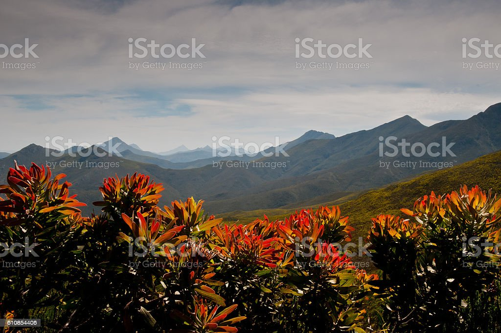 Robinson Pass framed by red and orange protea flowers stock photo