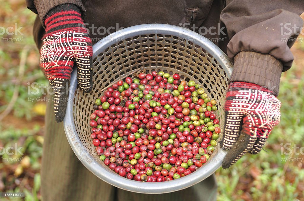 robusta coffee berries in basket. royalty-free stock photo