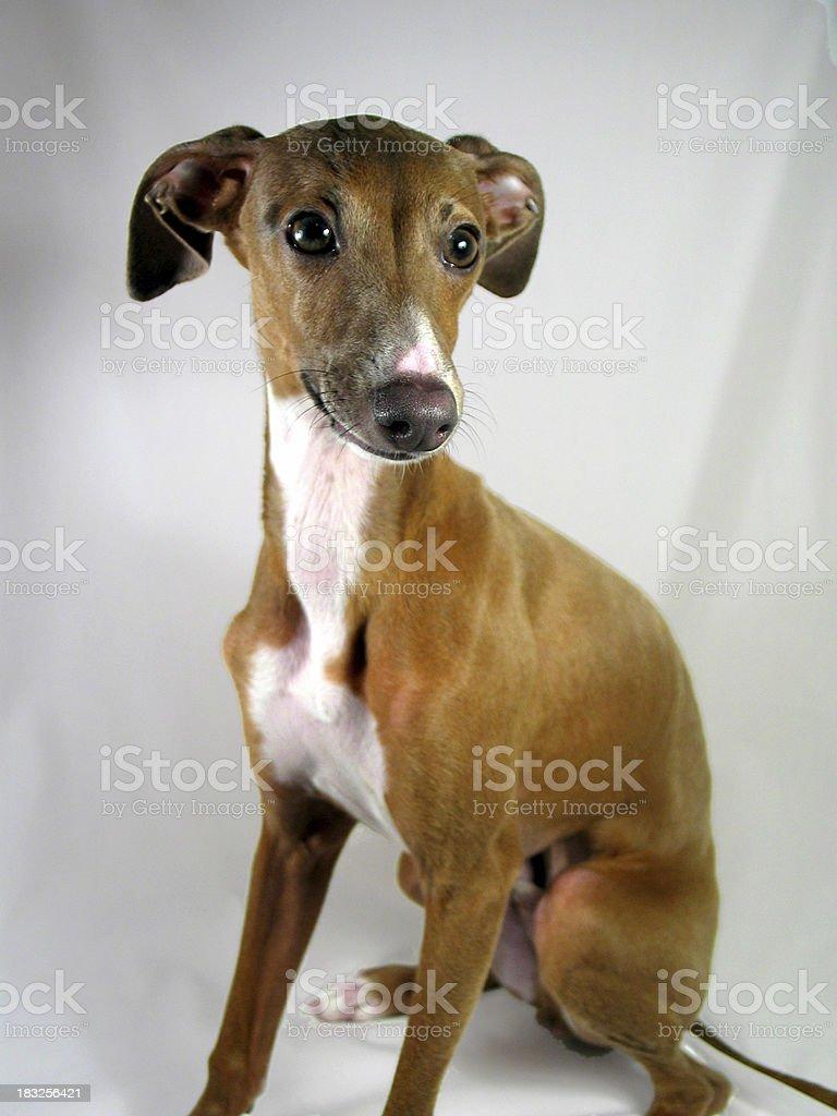 Rocco the Italian Greyhound royalty-free stock photo