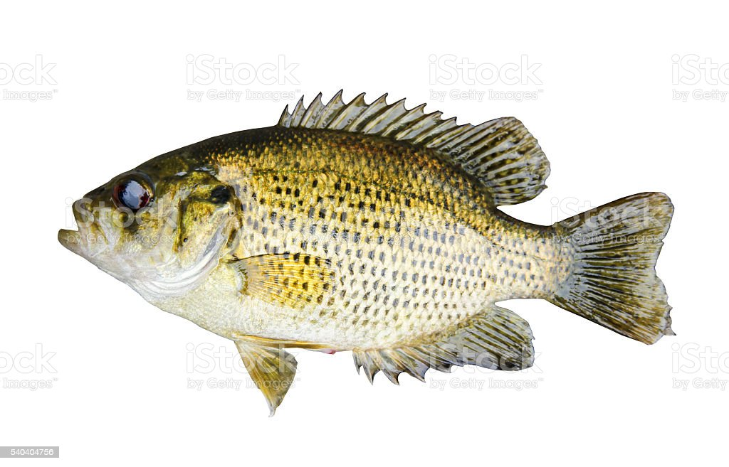 Rock Bass (Ambloplites Rupstris) isolated over a white background stock photo