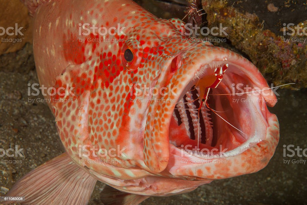 Rock cod at a cleaning station stock photo