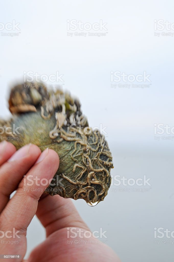 Rock Colonized With Sea Squirts (Tunicates) stock photo