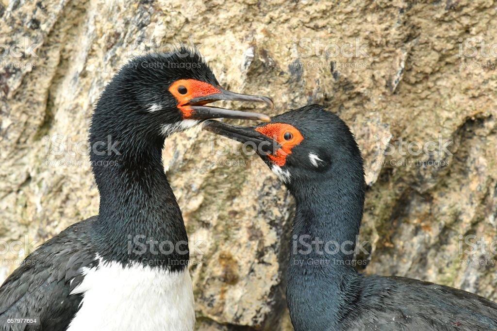 Rock Cormorant stock photo