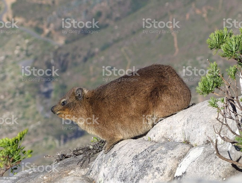 Rock Dassie 001 stock photo