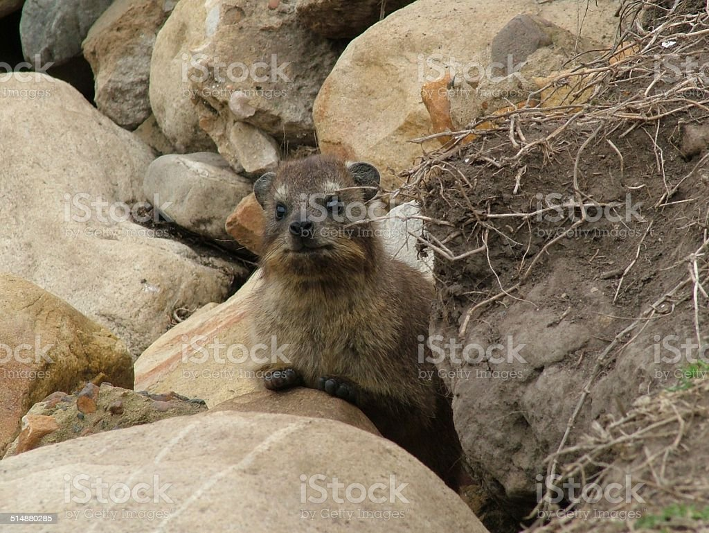 Rock Dassie 006 stock photo