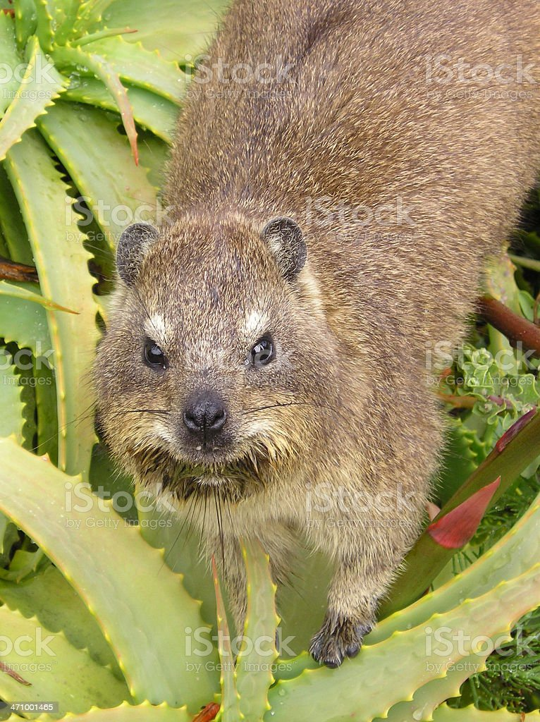Rock Dassie in plant royalty-free stock photo