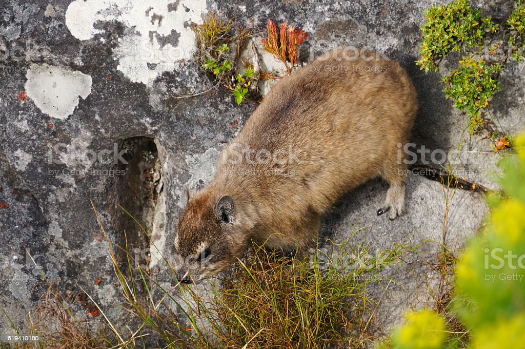 Rock dassie on Table Mountain, Cape Town. stock photo