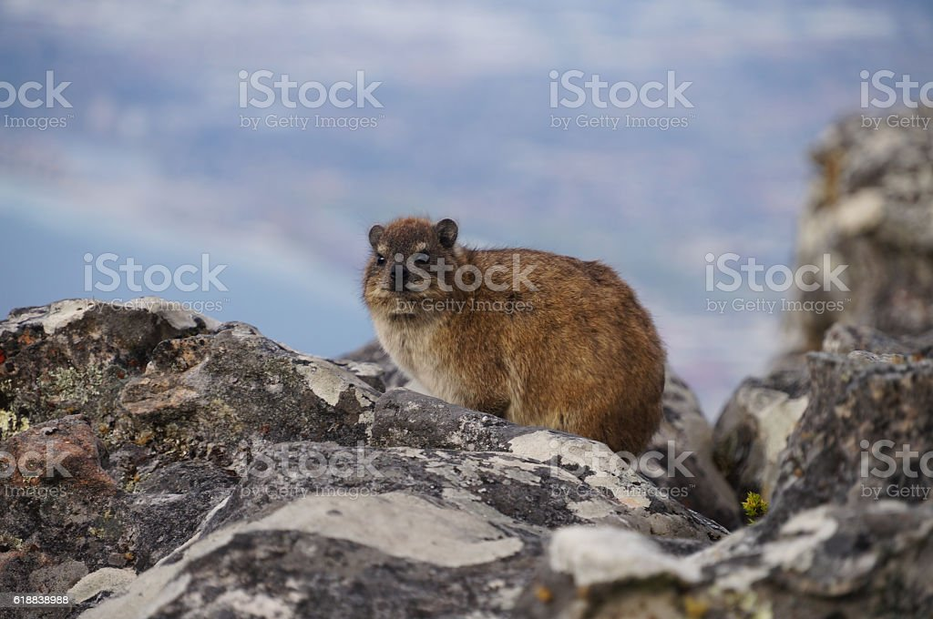 Rock dassie on Table Mountain, Cape Town, South Africa. stock photo