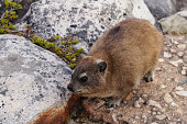 Rock dassie on Table Mountain, Cape Town, South Africa.