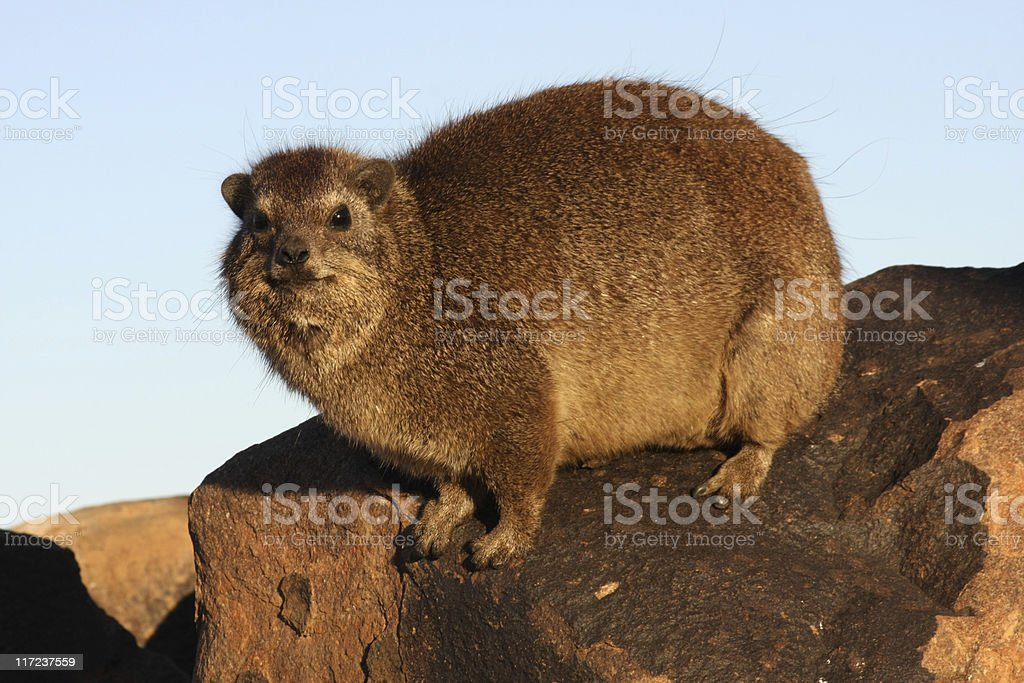 rock dassie (cape hyrax) stock photo