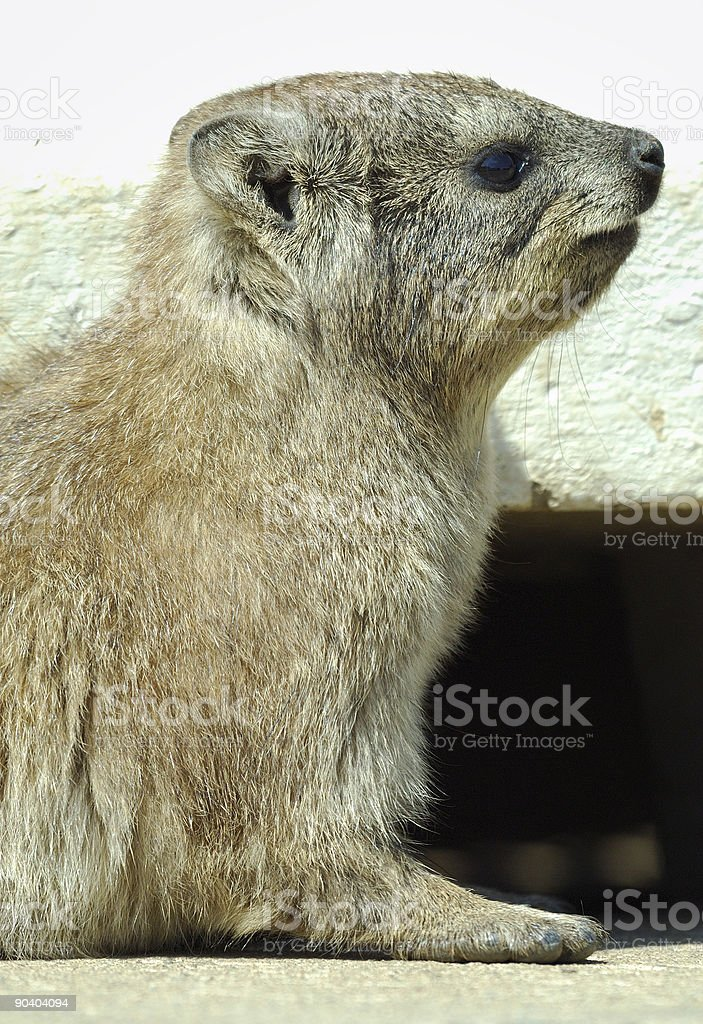 Rock Dassie portrait stock photo