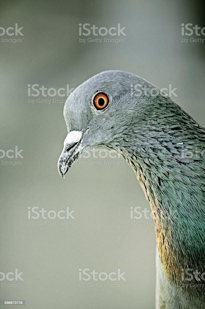 Rock Dove, Columba livia, India stock photo