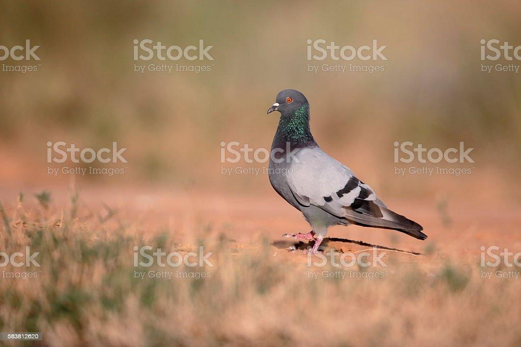 Rock dove, Columba livia stock photo