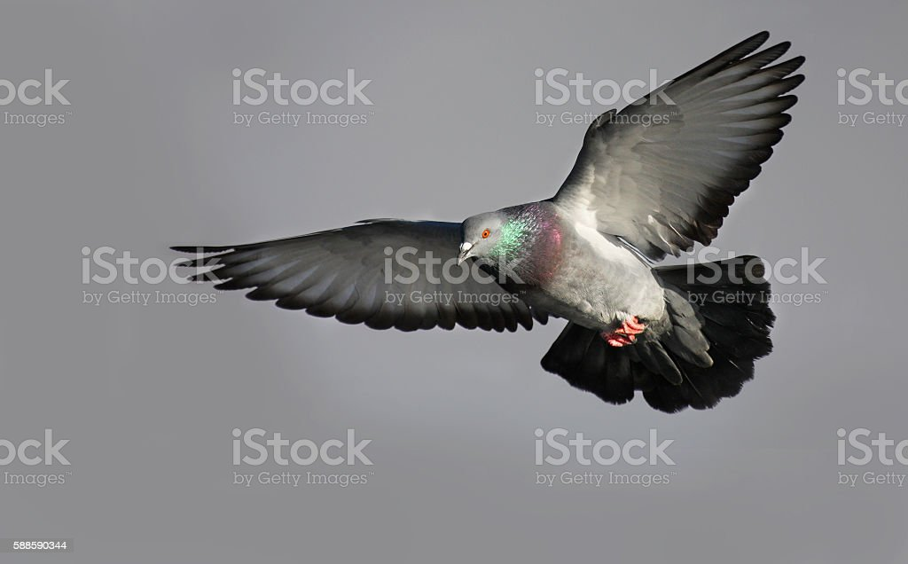 Rock dove in flight stock photo