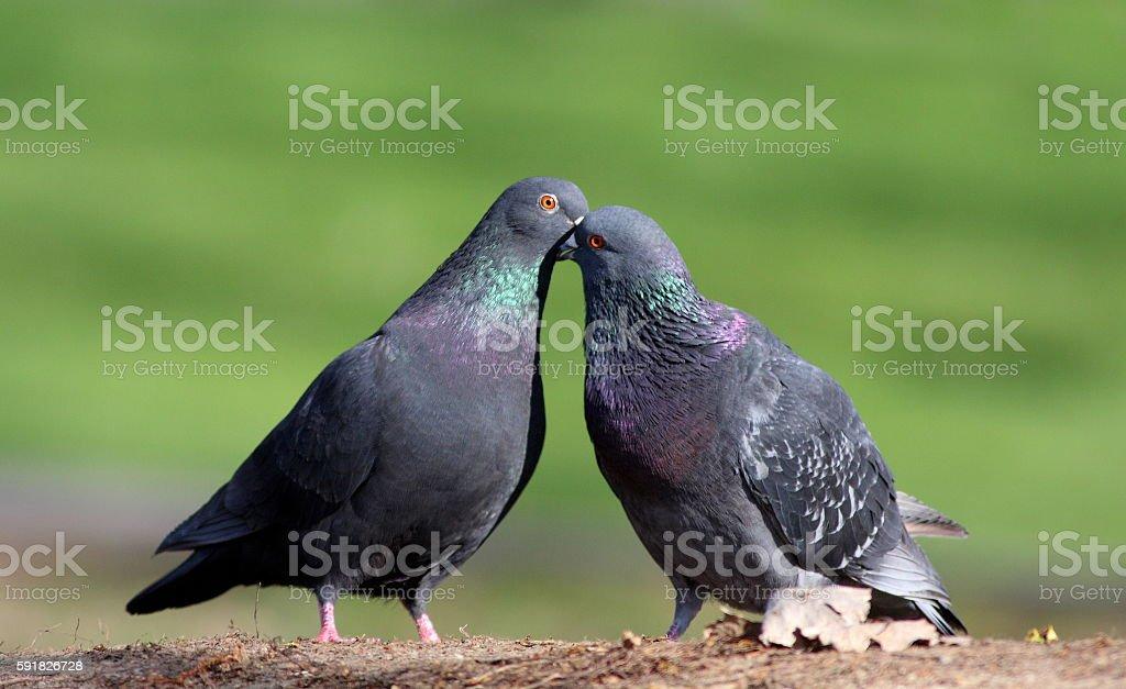 Rock dove in love stock photo