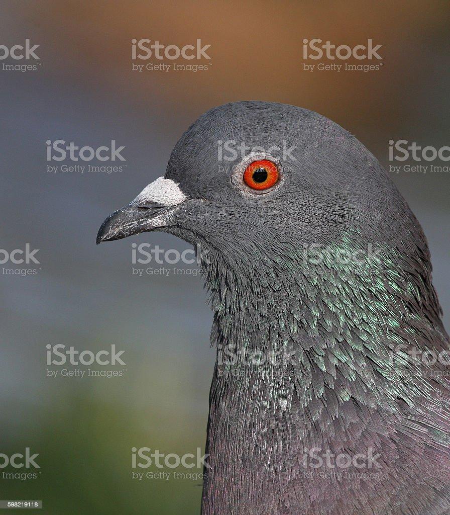 Rock dove portrait stock photo