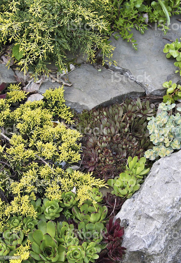 Rock garden with juniper and sedums royalty-free stock photo