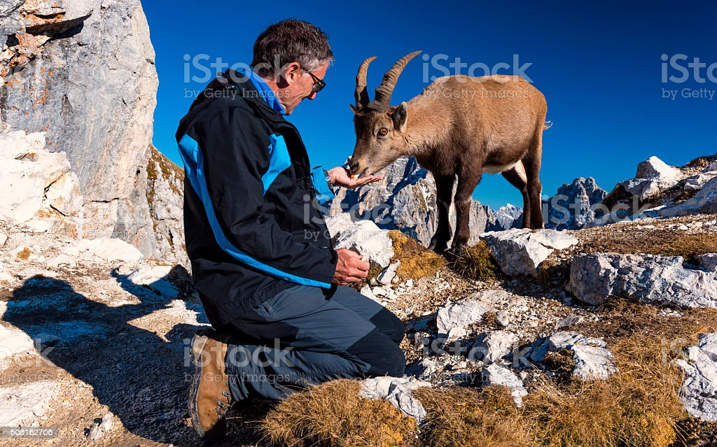 Rock goat eating from my hand stock photo