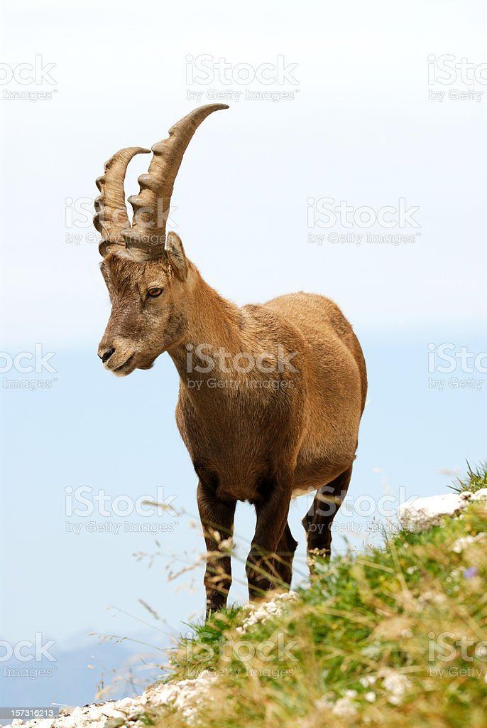 Rock goat, ibex royalty-free stock photo