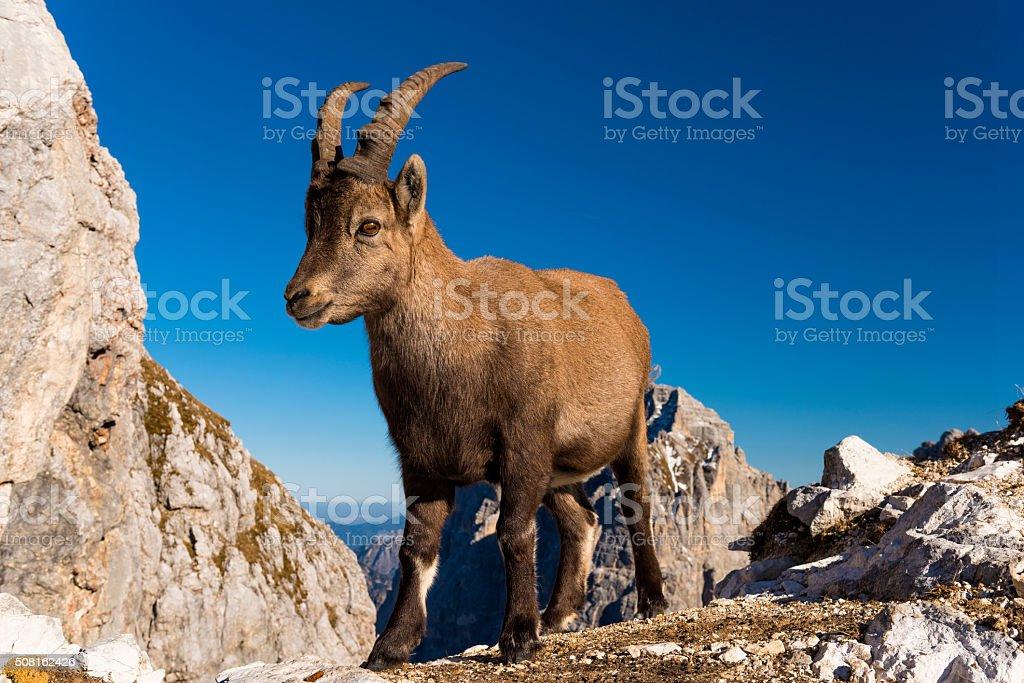 Rock goat, ibex stock photo